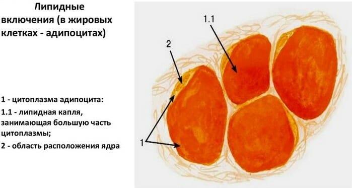 липидные включения в адипоцитах
