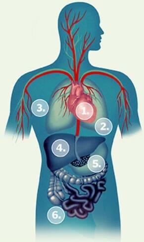 Как работает система кровообращения