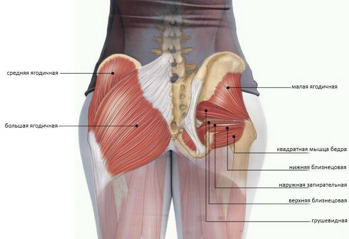 анатомия ягодичных мышц