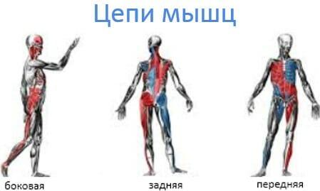 цепи мышц