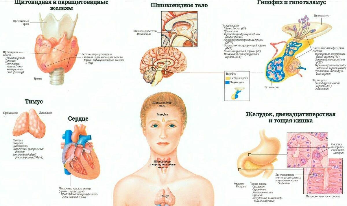Эндокринная система человека анатомия 1
