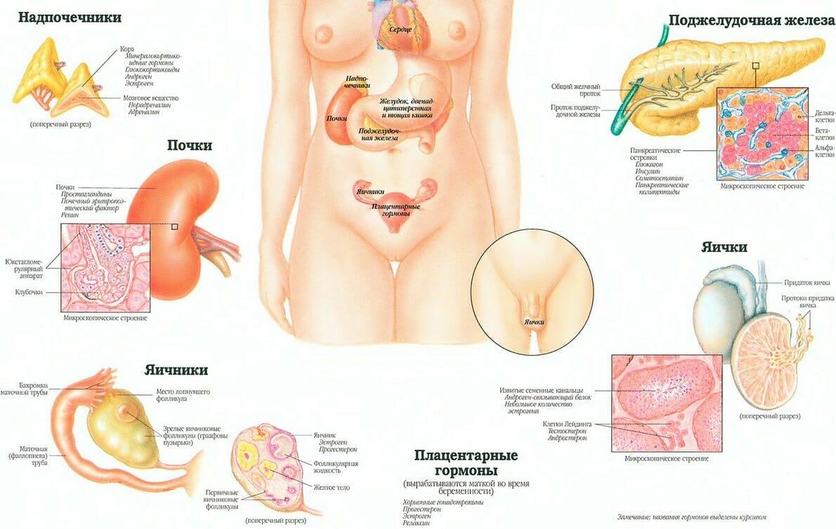 Эндокринная система человека анатомия 2