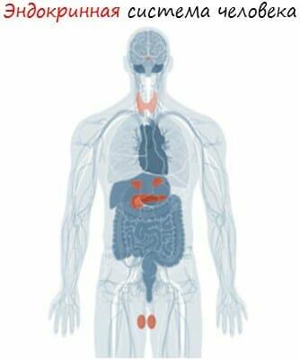 Эндокринная система человека. Все, что надо знать