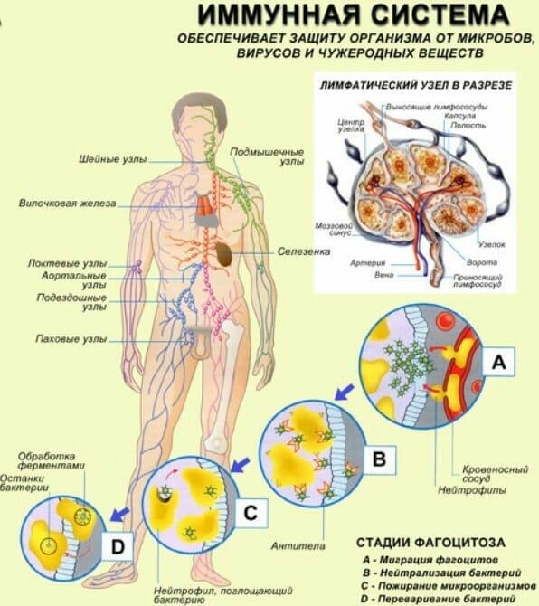 Иммунная система человека плакат анатомия