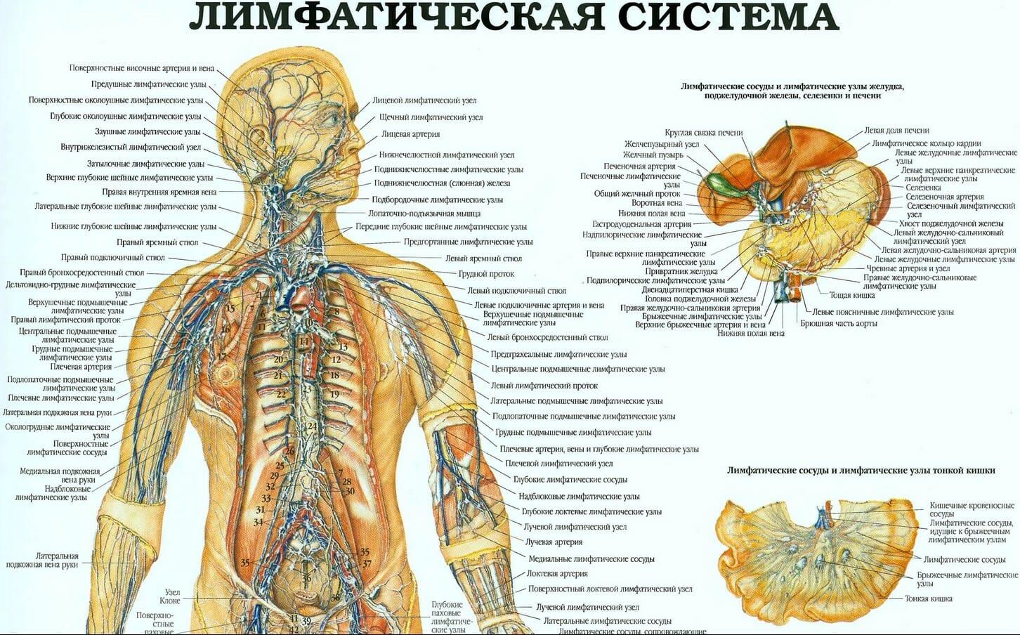 Лимфатическая система человека часть 1 плакат