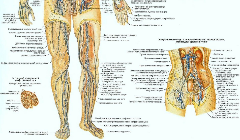 Лимфатическая система человека часть 2 плакат