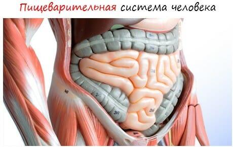 Пищеварительная система человека лого