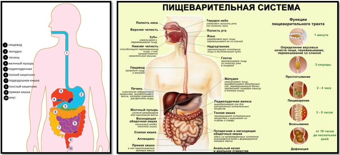 Пищеварительная система человека органы