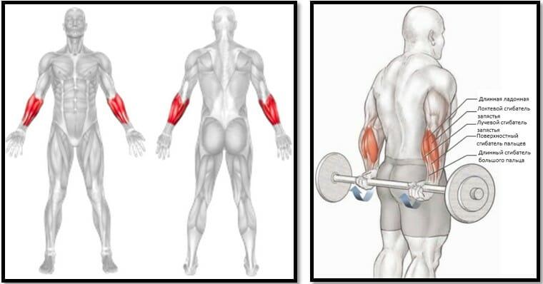 Сгибания запястий за спиной со штангой мышцы
