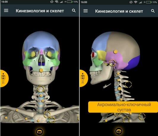 раздел кинезиология и скелет, приложение muscle and motion