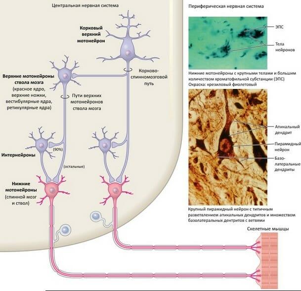Базовое строение и связи центральных и периферических нейронов двигательных путей