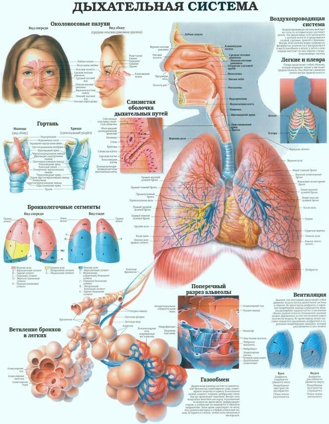 Дыхательная система человека плакат