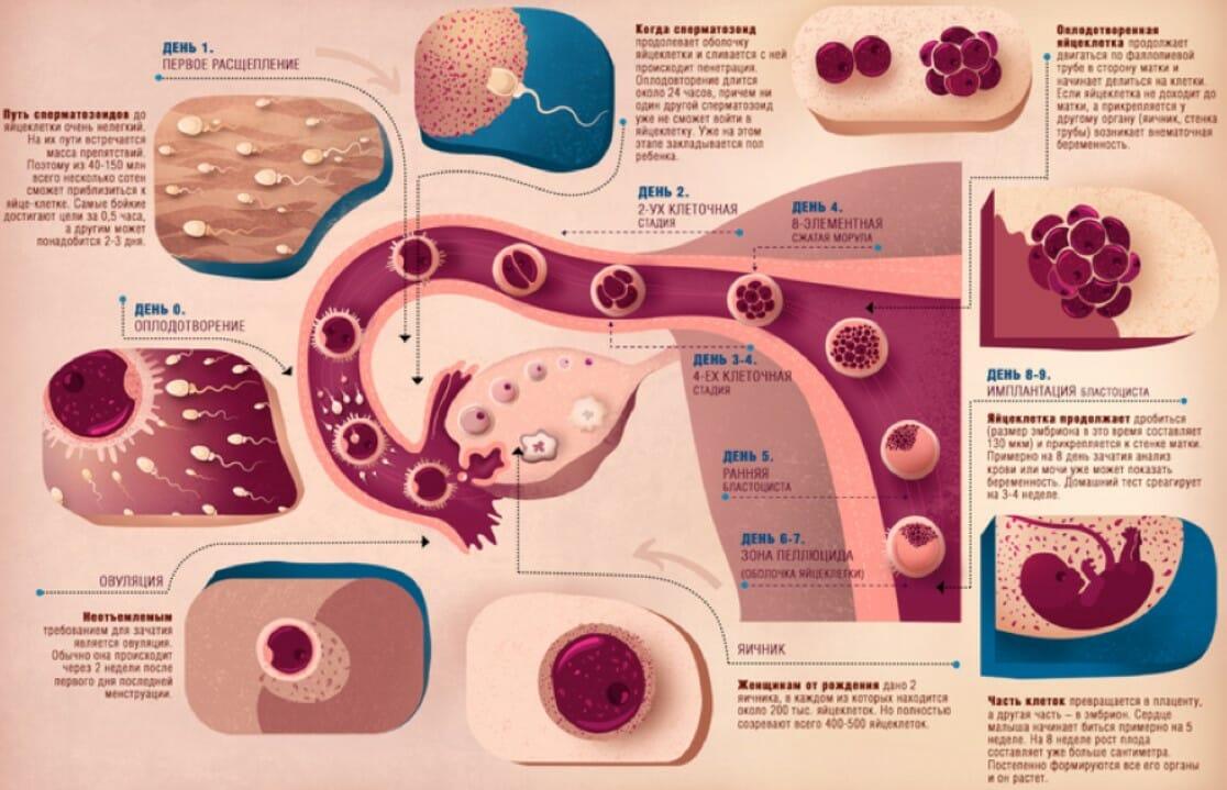Как работает репродуктивная система человека, процесс оплодотоврения и зачатия