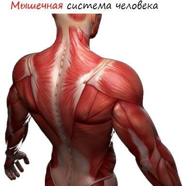 Мышечная система человека лого