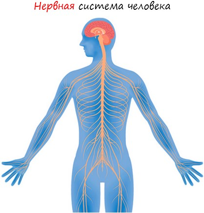 Нервная система человека лого