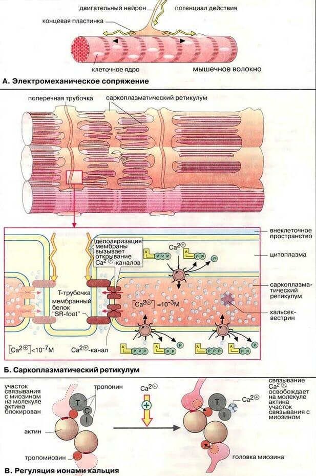 Регуляция сокращения мышечных волокон