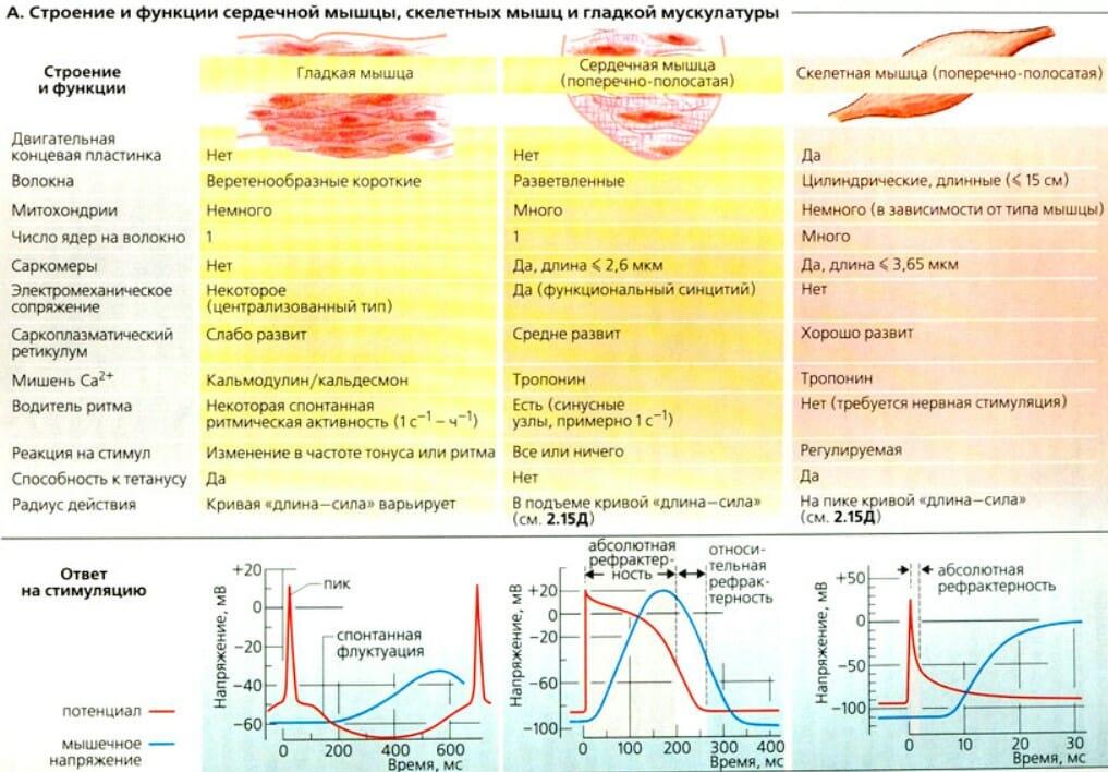 Строение и функции сердечной мышцы скелетных мышц и гладкой мускулатуры