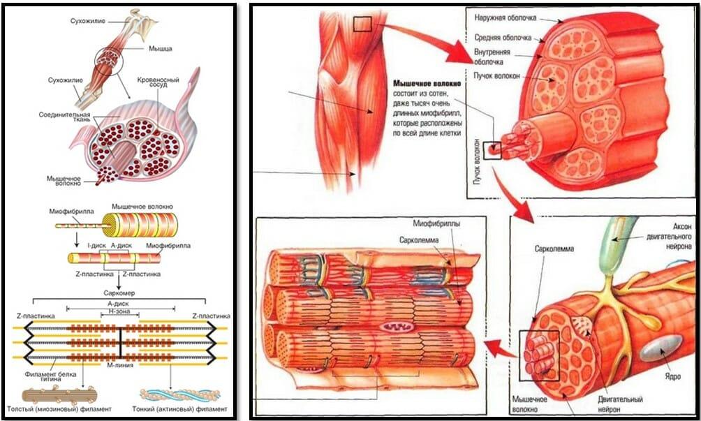 физиология скелетных мышц
