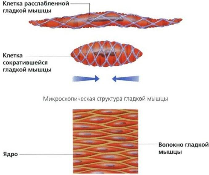 гладкие мышцы сокращение и расслабление