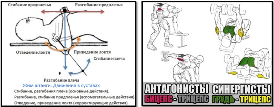 классификация мышц группы мышц