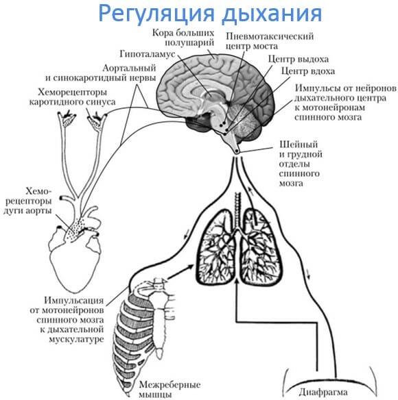 нервная регуляция дыхания