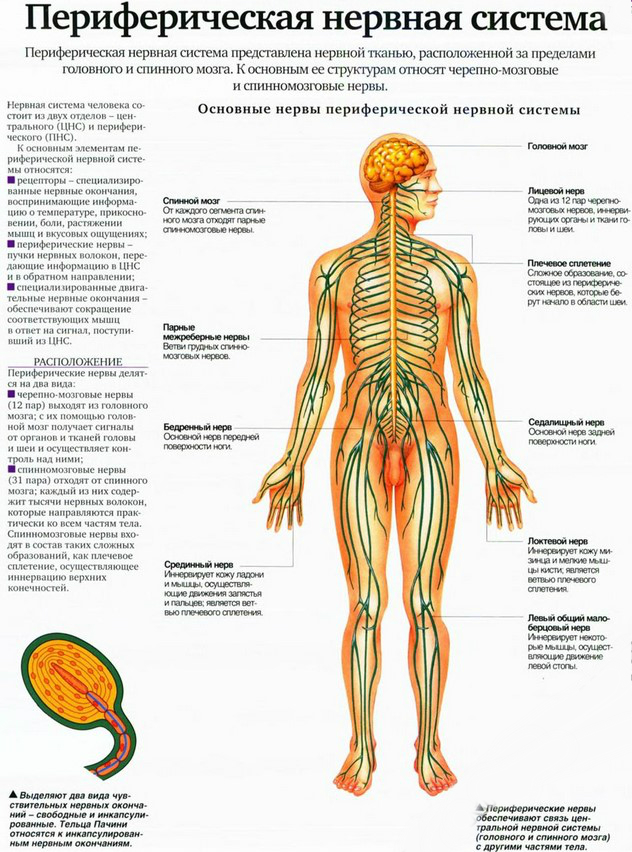 переферическая нервная система