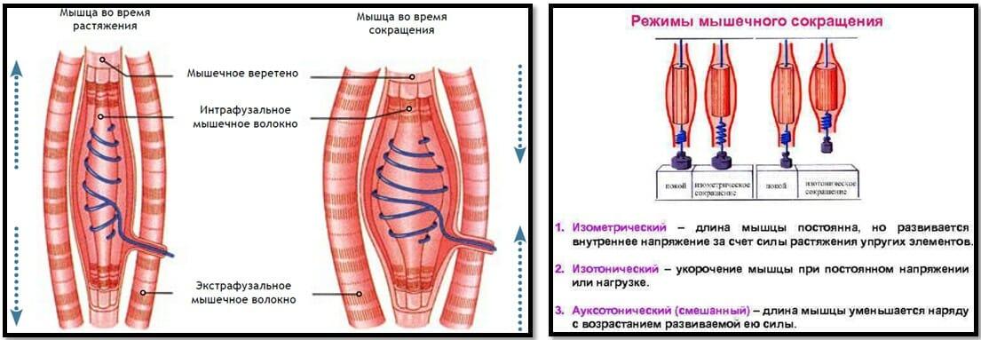 режимы сокращения мышц