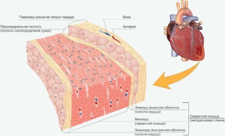 сердечная мышца в разрезе