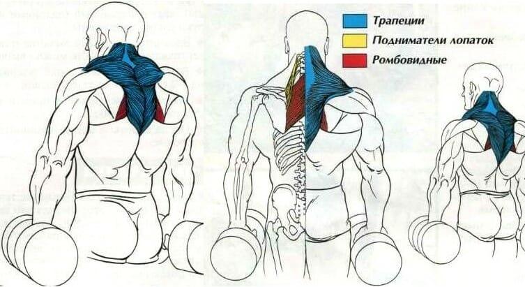 шраги с гантелями мышцы рубрика OS
