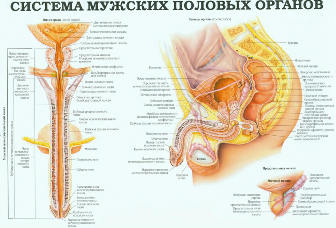 система мужских половых органов 1