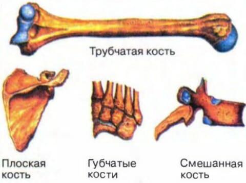 Классификация костей