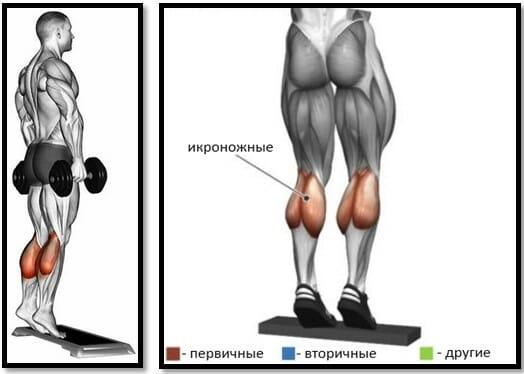 Подъемы на носки с гантелями мышцы