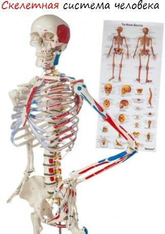 Скелетная система человека лого