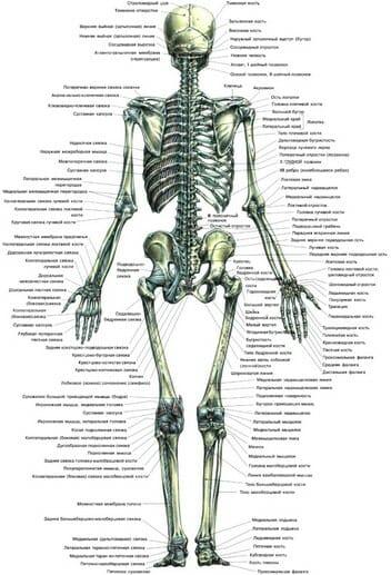 Скелетная система человека плакат