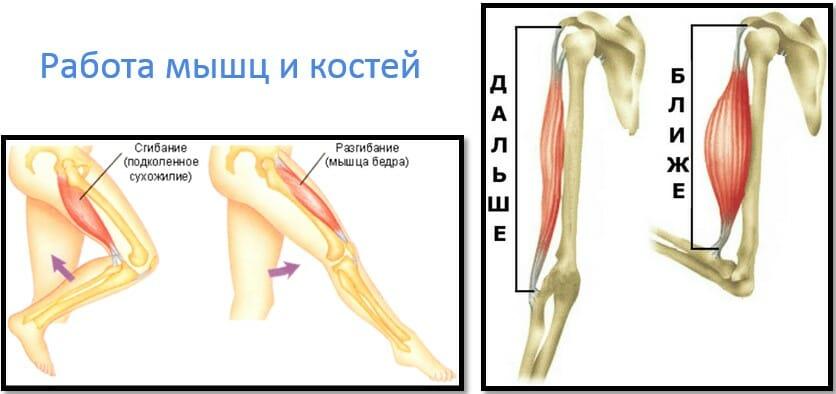 работа мышц и костей