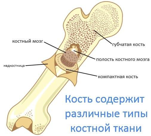 типы костной ткани