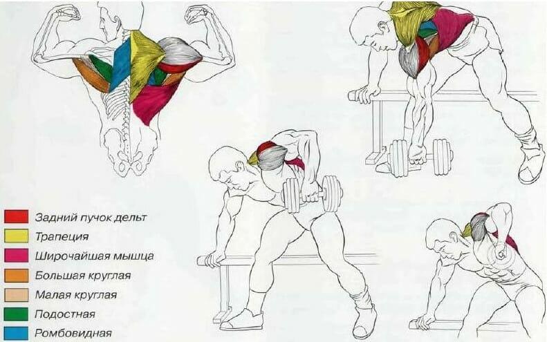 тяга гантели в наклоне мышцы