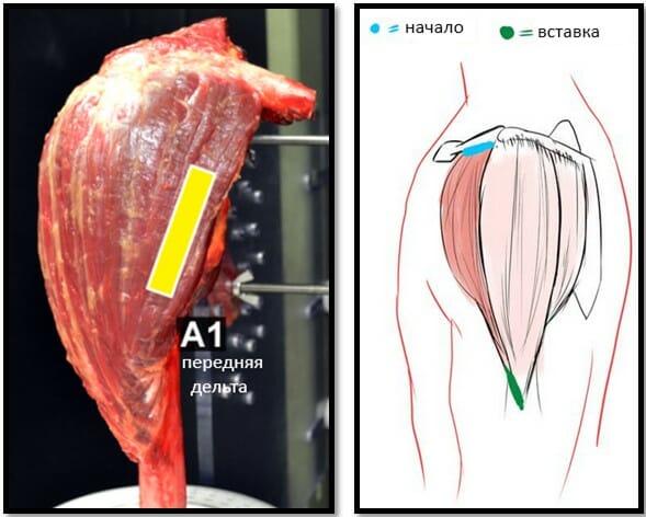 передняя дельта анатомия волокна