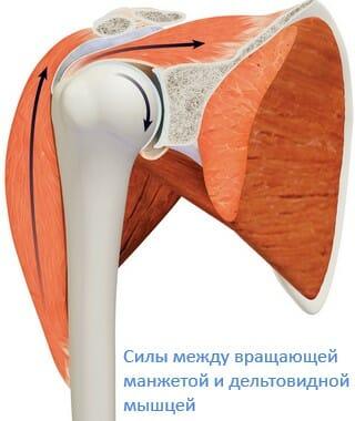 силы между вращающей манжетой и дельтовидной мышцей