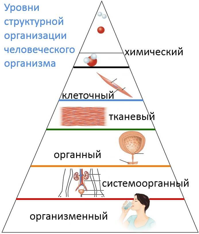 Уровни структурной организации человеческого организма