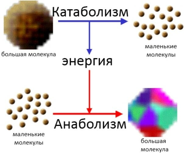 анаболизм и катаболизм схема