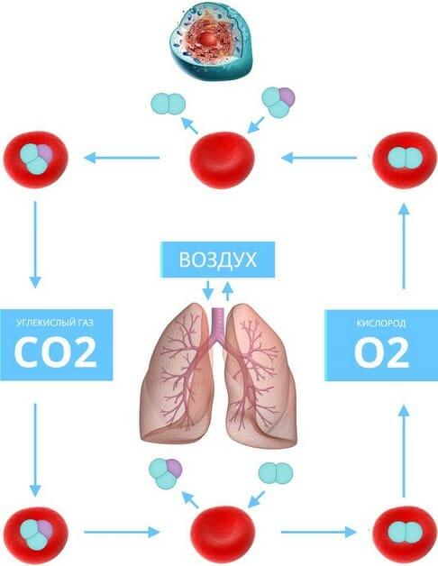 функции жизни человека: схема клеточного дыхания