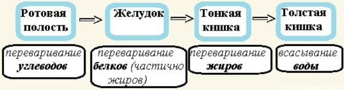 схема процесса пищеварения