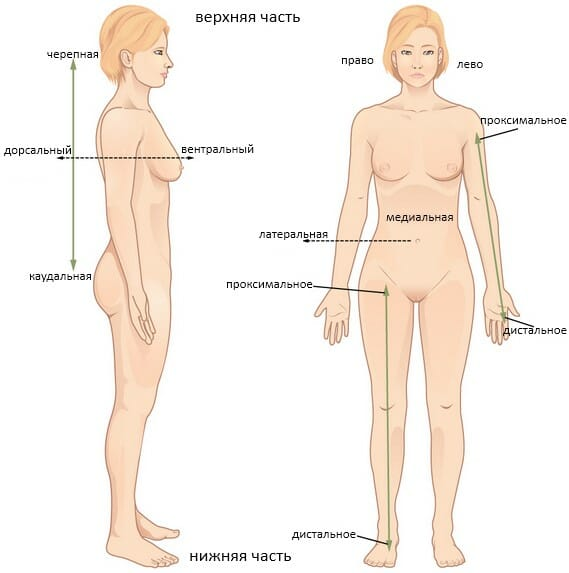 Анатомические позиции. термины, применяемые к телу человека