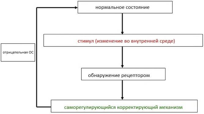 механизм гомеостаза