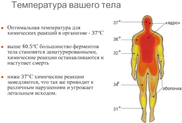 температура тела и ферменты