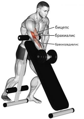 Сгибание рук с гантелью с упором о наклонную скамью мышцы
